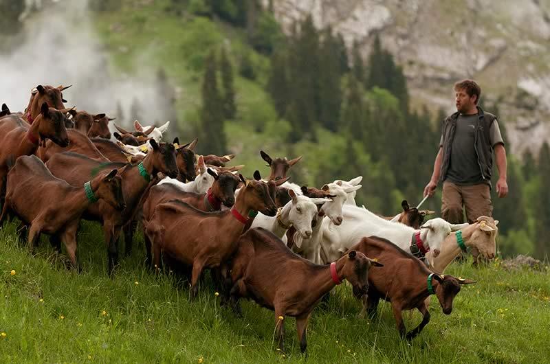 Chevrotin-AOP_fromage-de-chevre_page-terroir-et-territoire-dynamique3